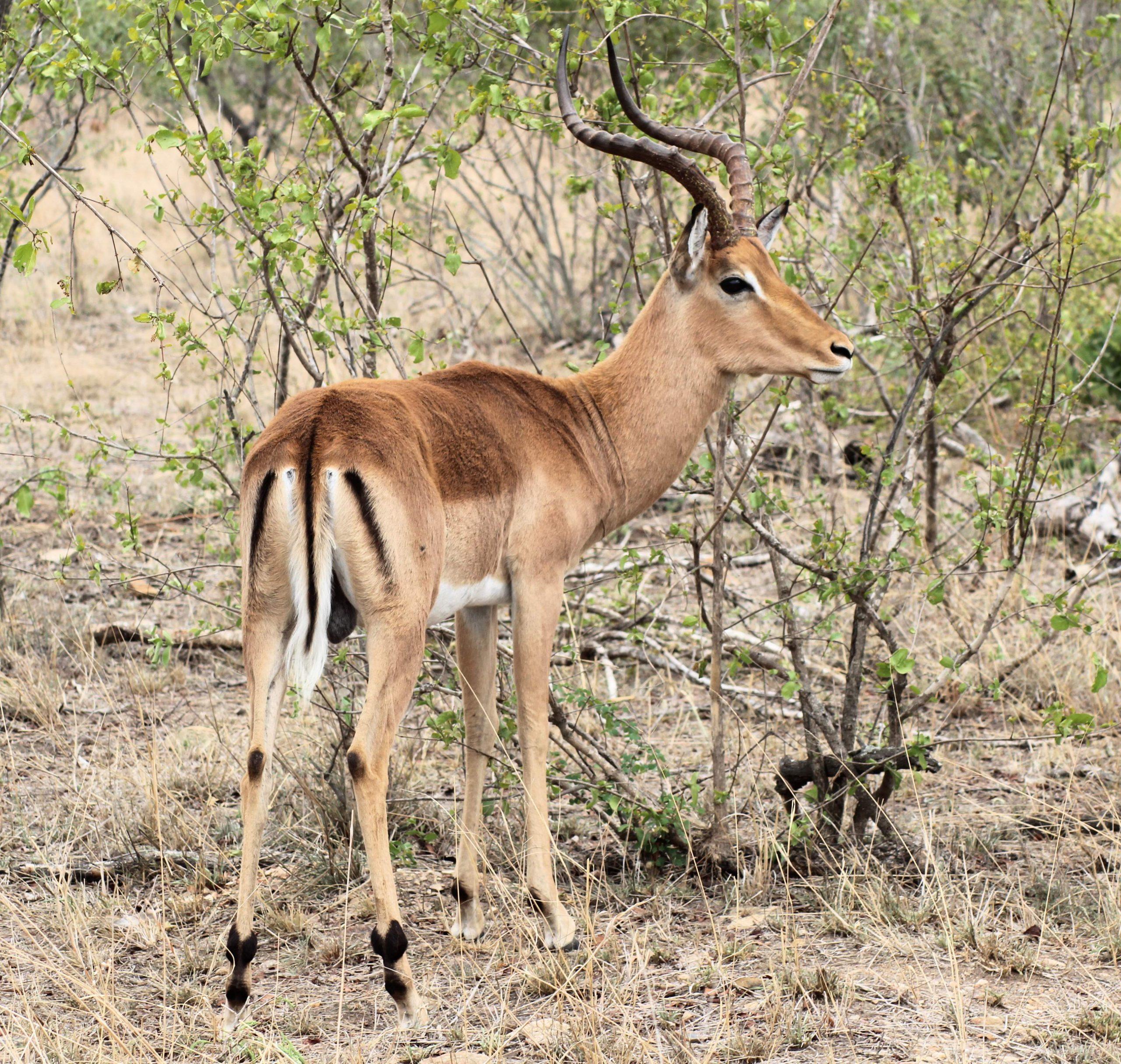 Impala Xongi-tings Xongi-pedia (Mammal - Even-toed Ungulate)