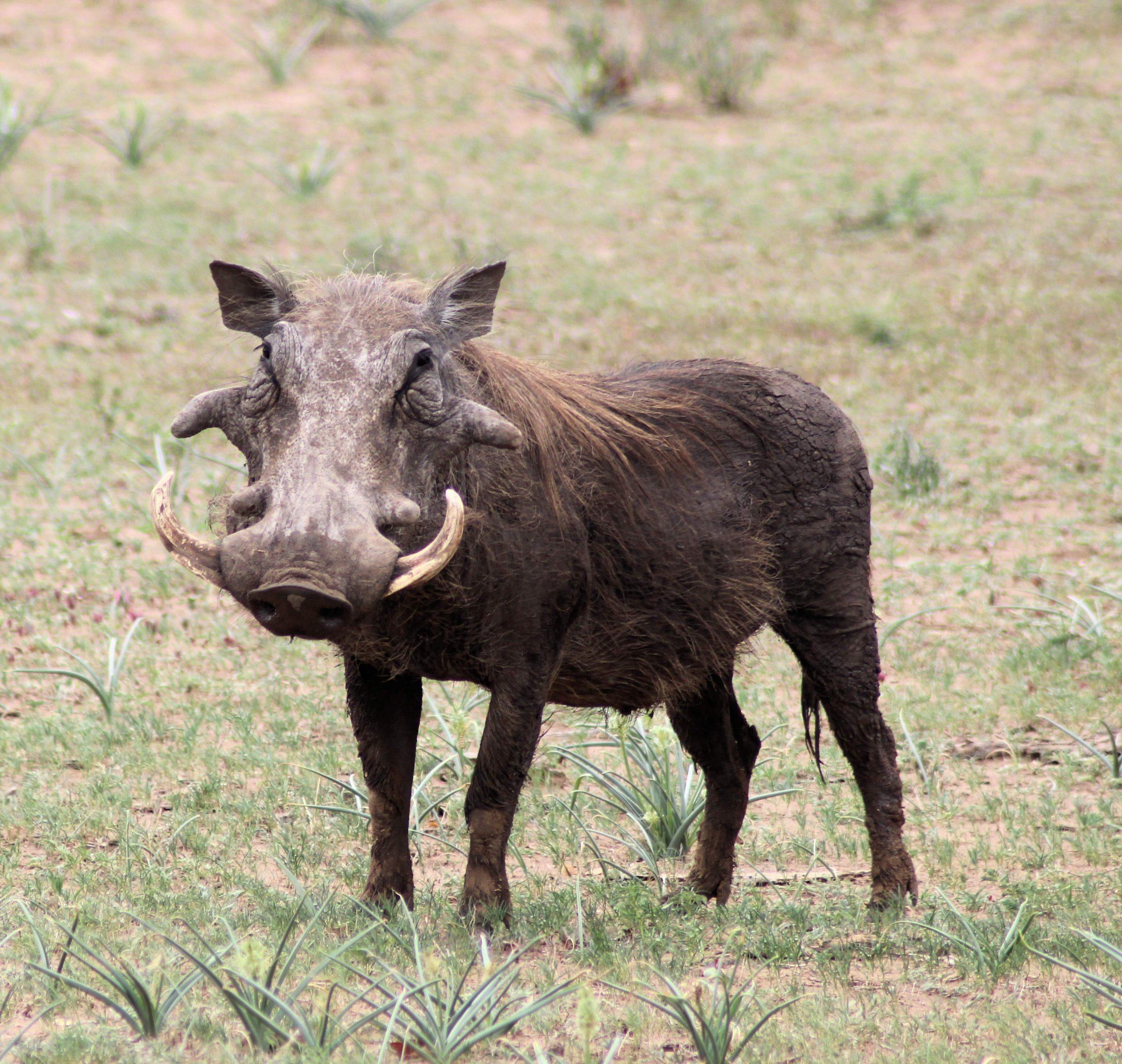 Warthog Xongi-tings Xongi-pedia (Mammal - Even-toed Ungulate)