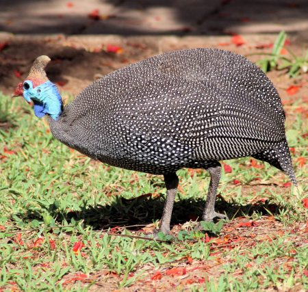 Helmelted Guineafowl