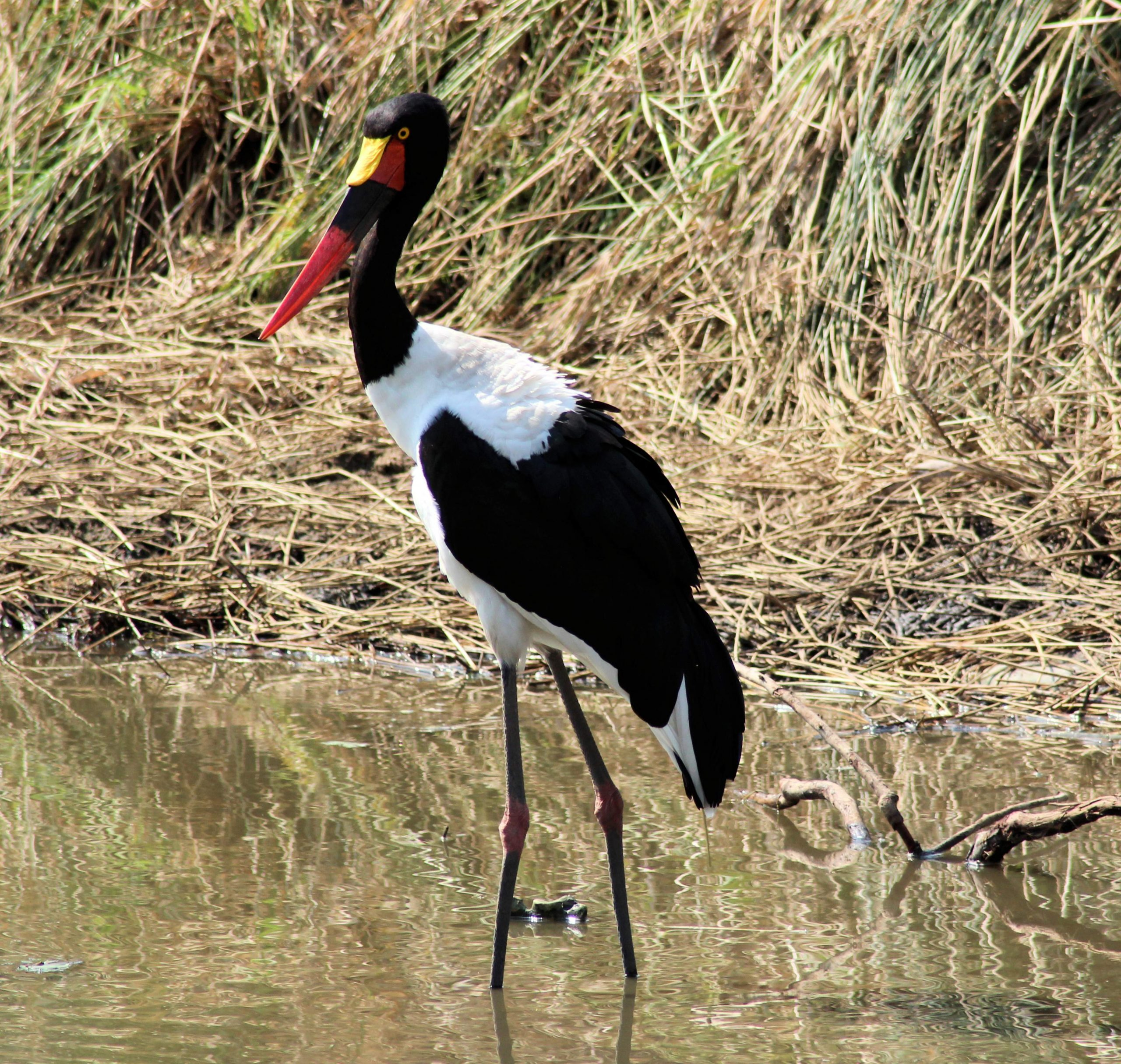 Saddle-billed Stork Xongi-tings Xongi-pedia