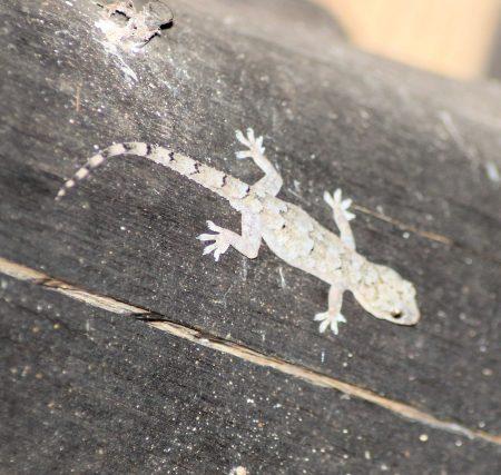 Moreau's Tropical House Gecko