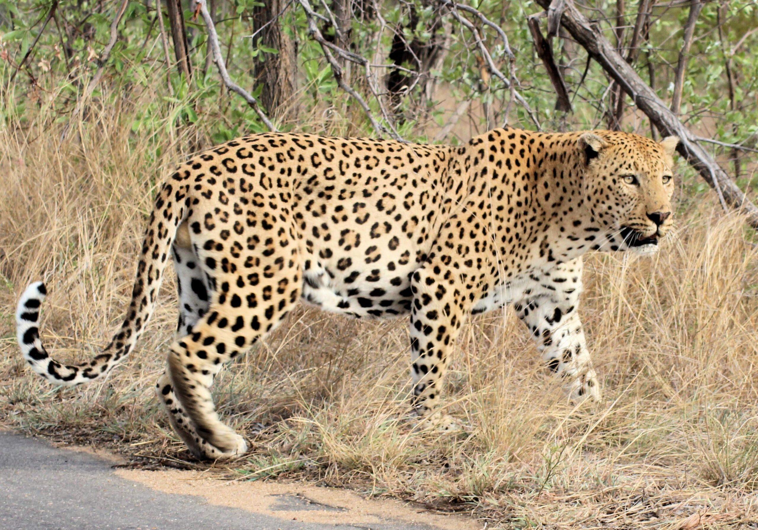 African Leopard Xongi-tings & Xongi-pedia (Mammal - Carnivore)