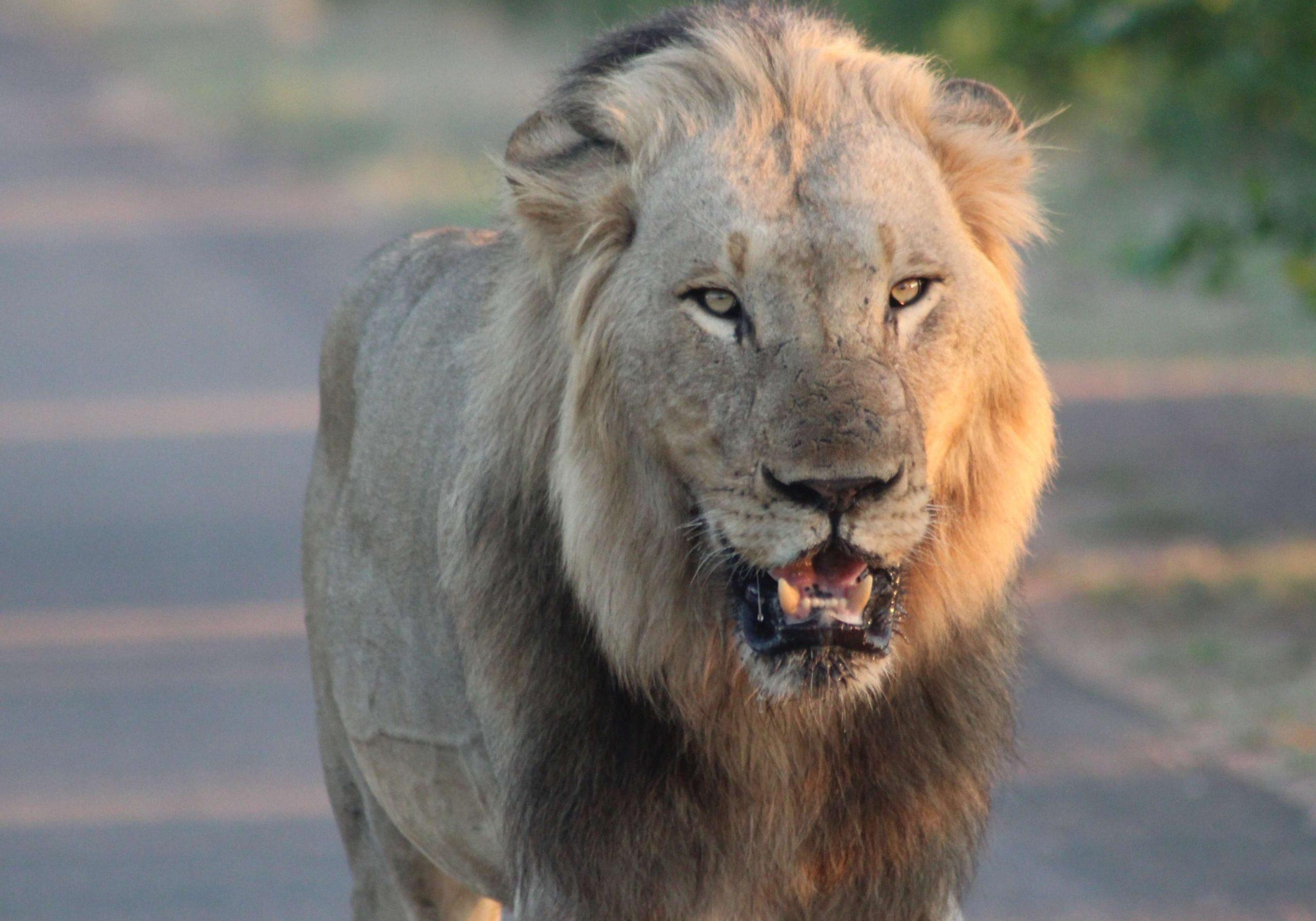 African Lion Xongi-tings Xongi-pedia (Mammal - Cat)