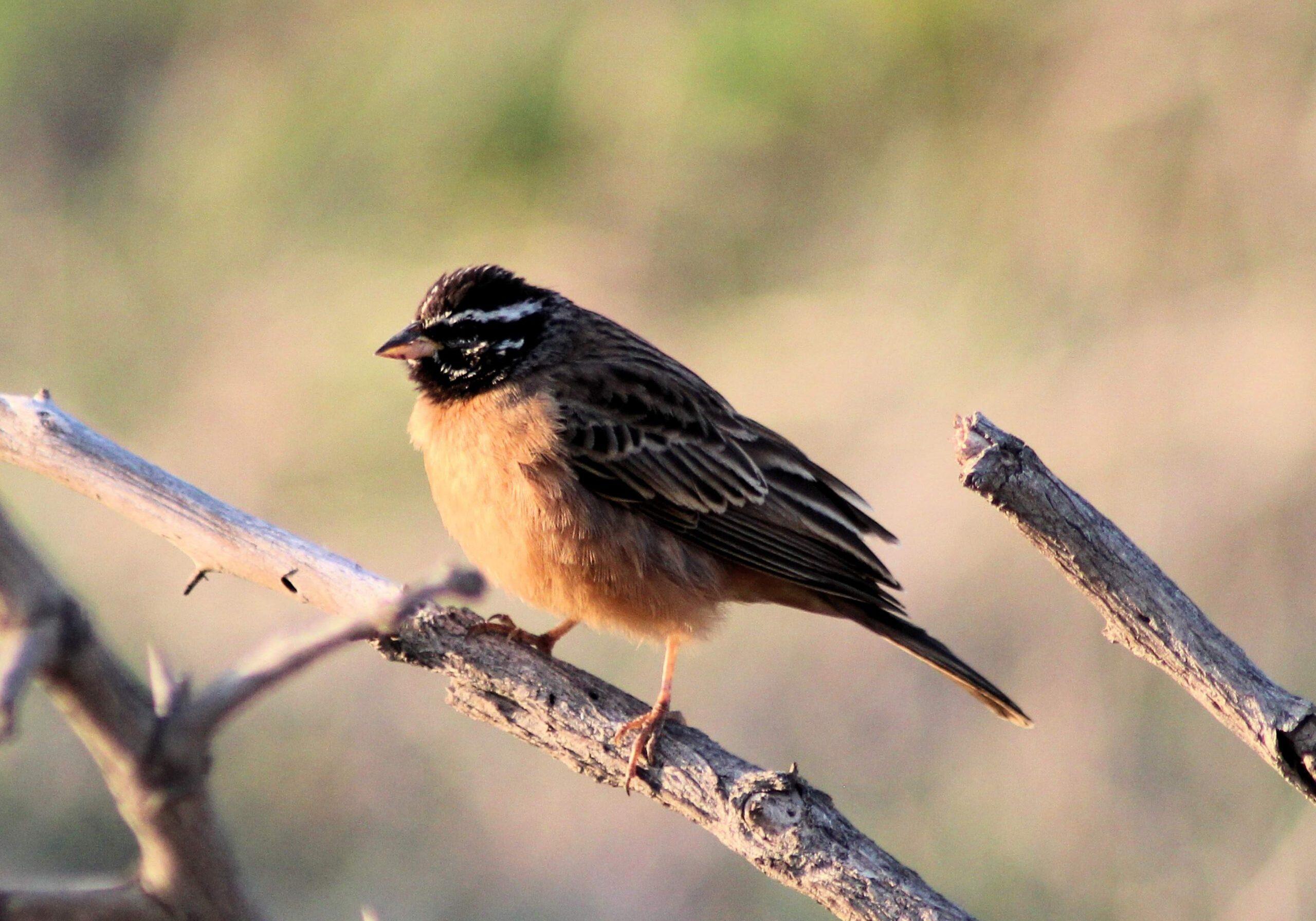 Cinnamon-breasted Bunting Xongi-tings Xongi-pedia (Bird - Bunting)