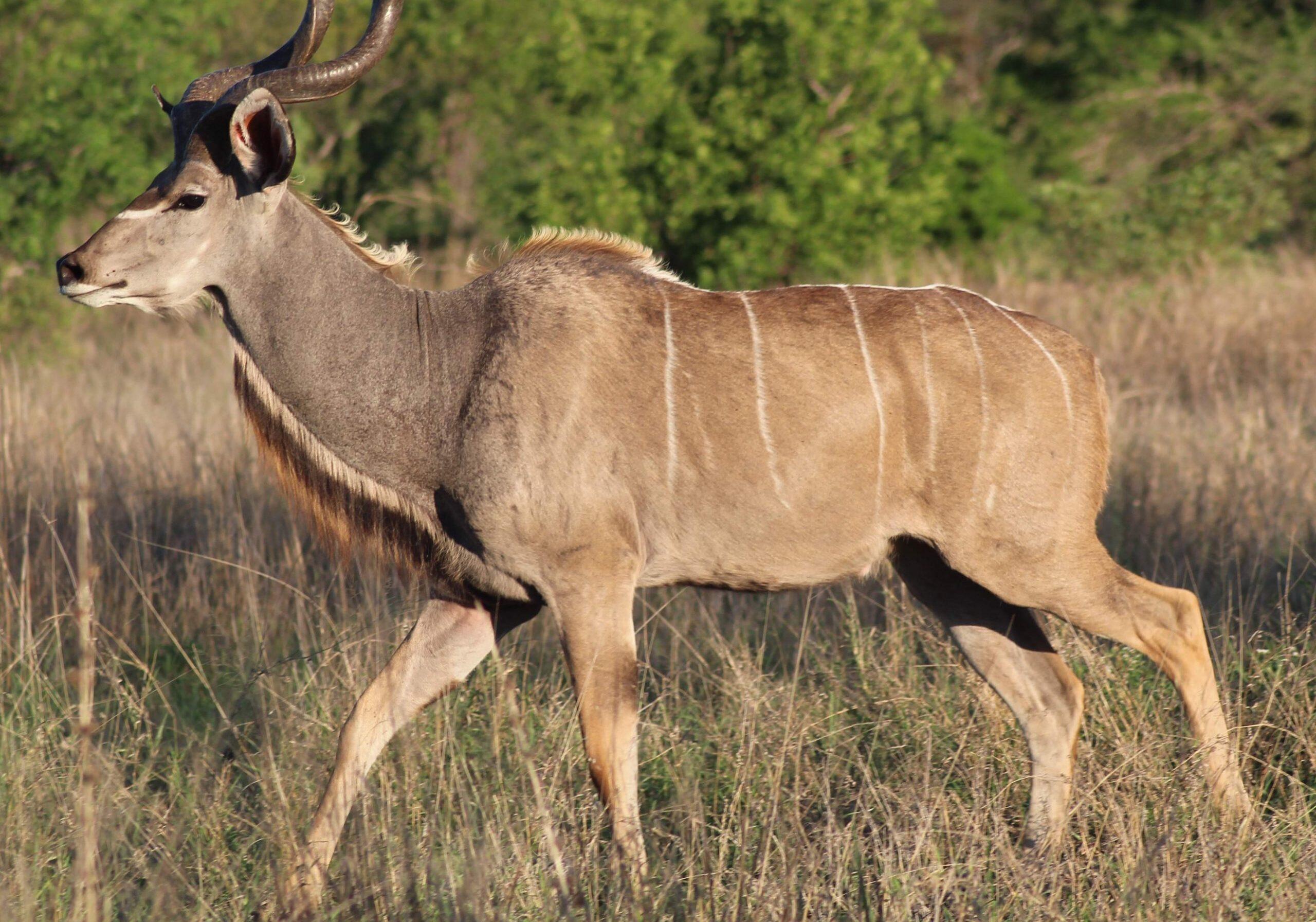 Greater Kudu Xongi-tings Xongi-pedia (Mammal - Even-toed Ungulate)