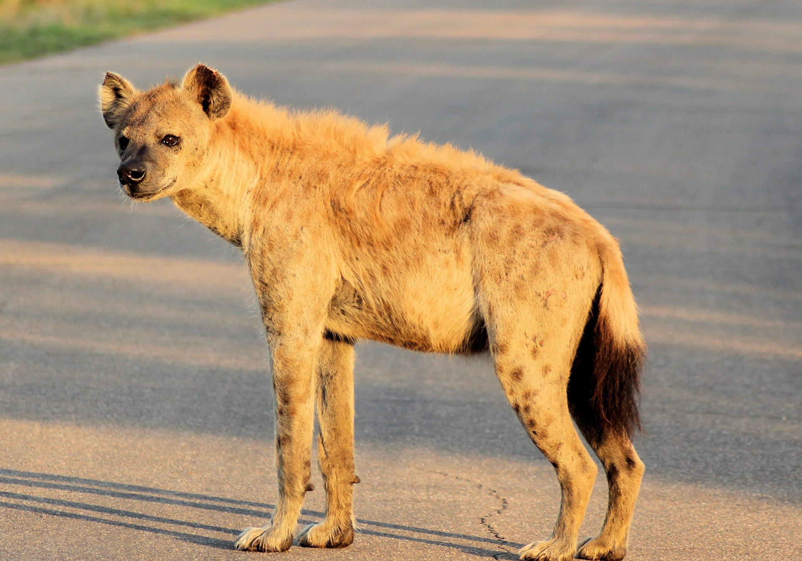 Spotted Hyena Xongi-tings Xongi-pedia (Mammal - Carnivore)
