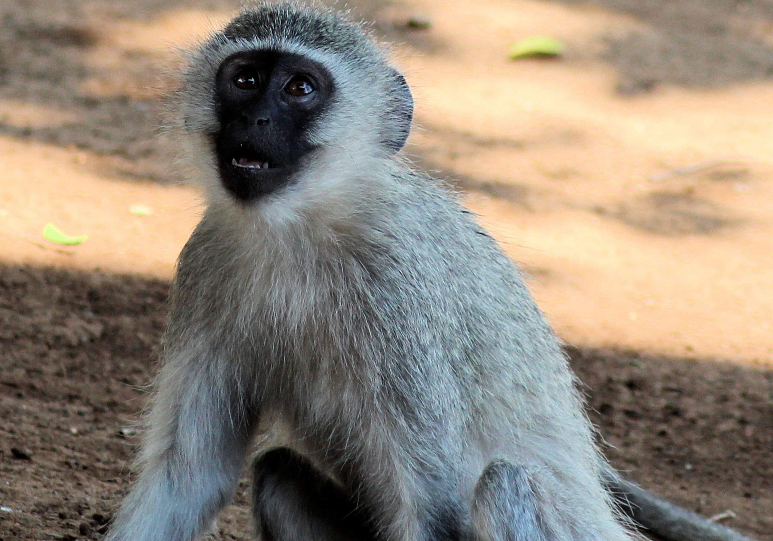 Vervet Monkey Xongi-tings Xongi-pedia (Mammal - Primate)
