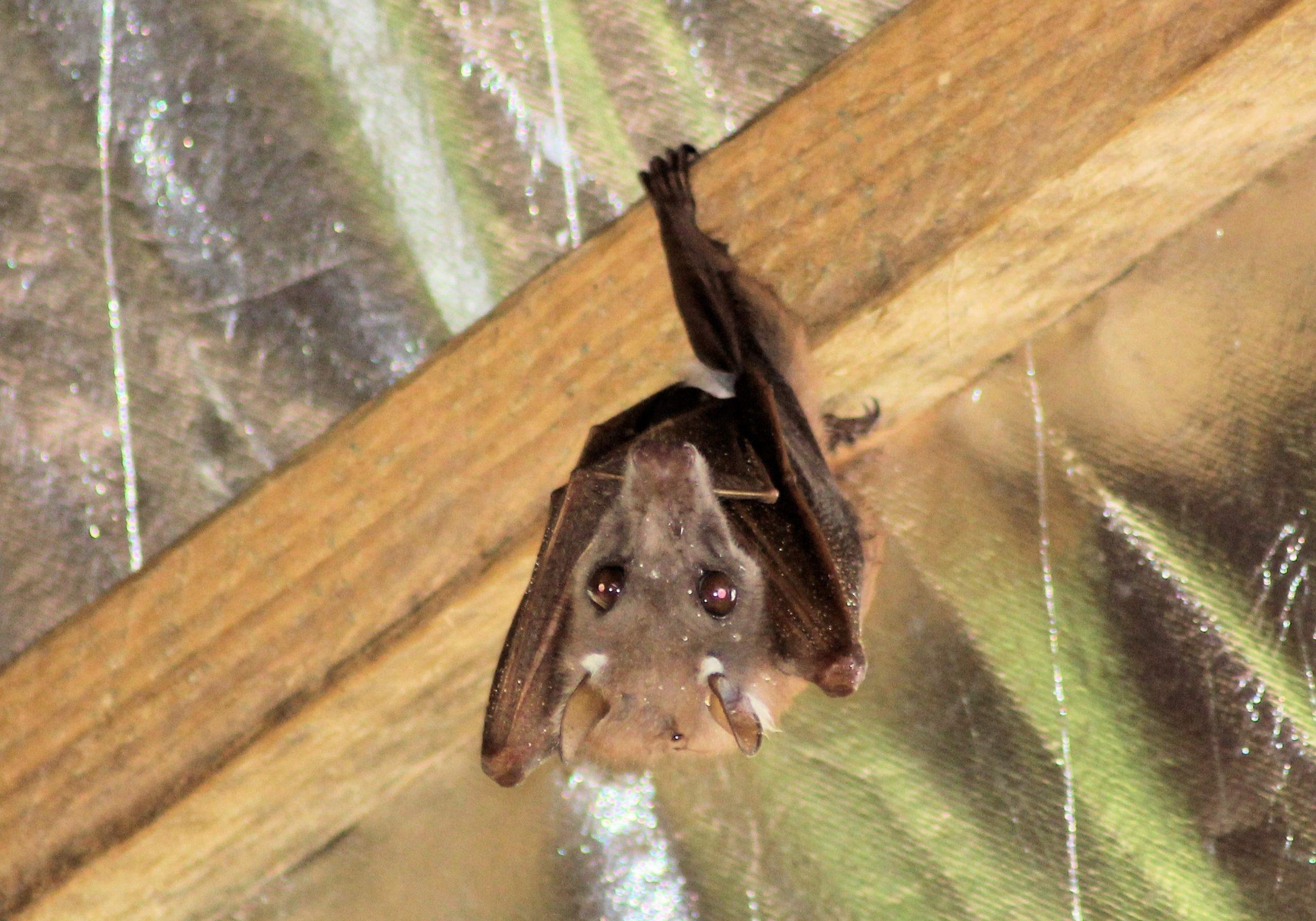 Wahlberg's Epauletted Fruit-bat